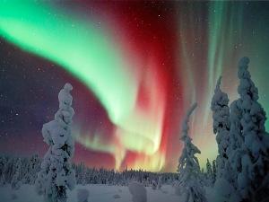 Polarna svetlost u vise nijansi na nebu, pogled izmedju snegom pikrivenih cetinara u Laponiji